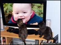 Gatos vendo a TV