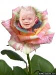 Rosa em tons de cor-de-rosa e branco